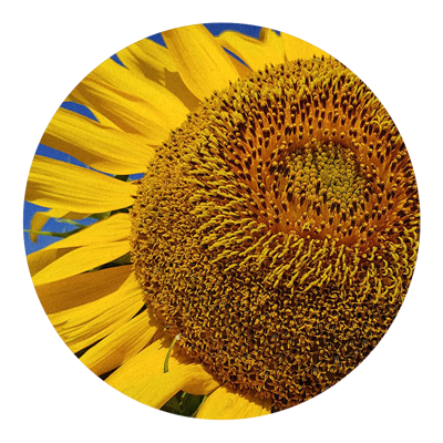 Sunflower | Rooted in