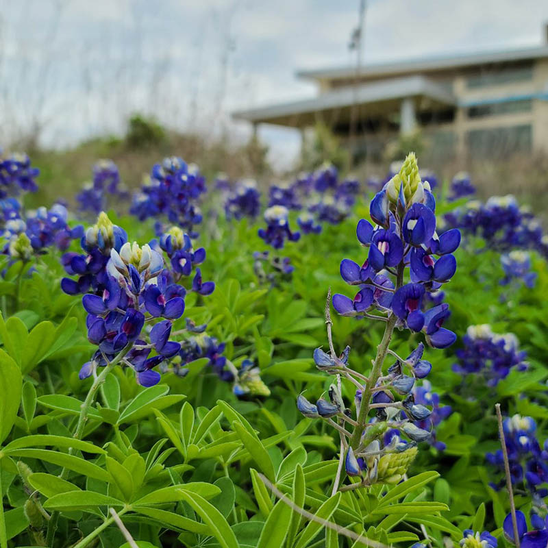 Blue Bonnets | Rooted in