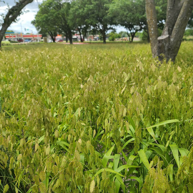 Inland Sea Oats | Rooted in